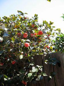 elsinore-camellias